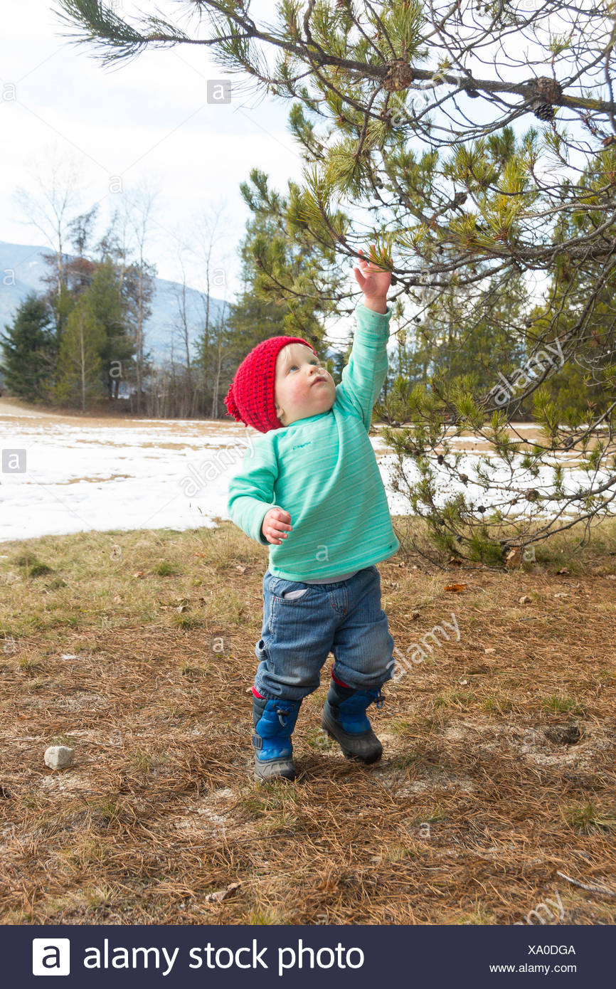 A toddler grabs for a pine tree in early spring in British Columbia - Stock Image