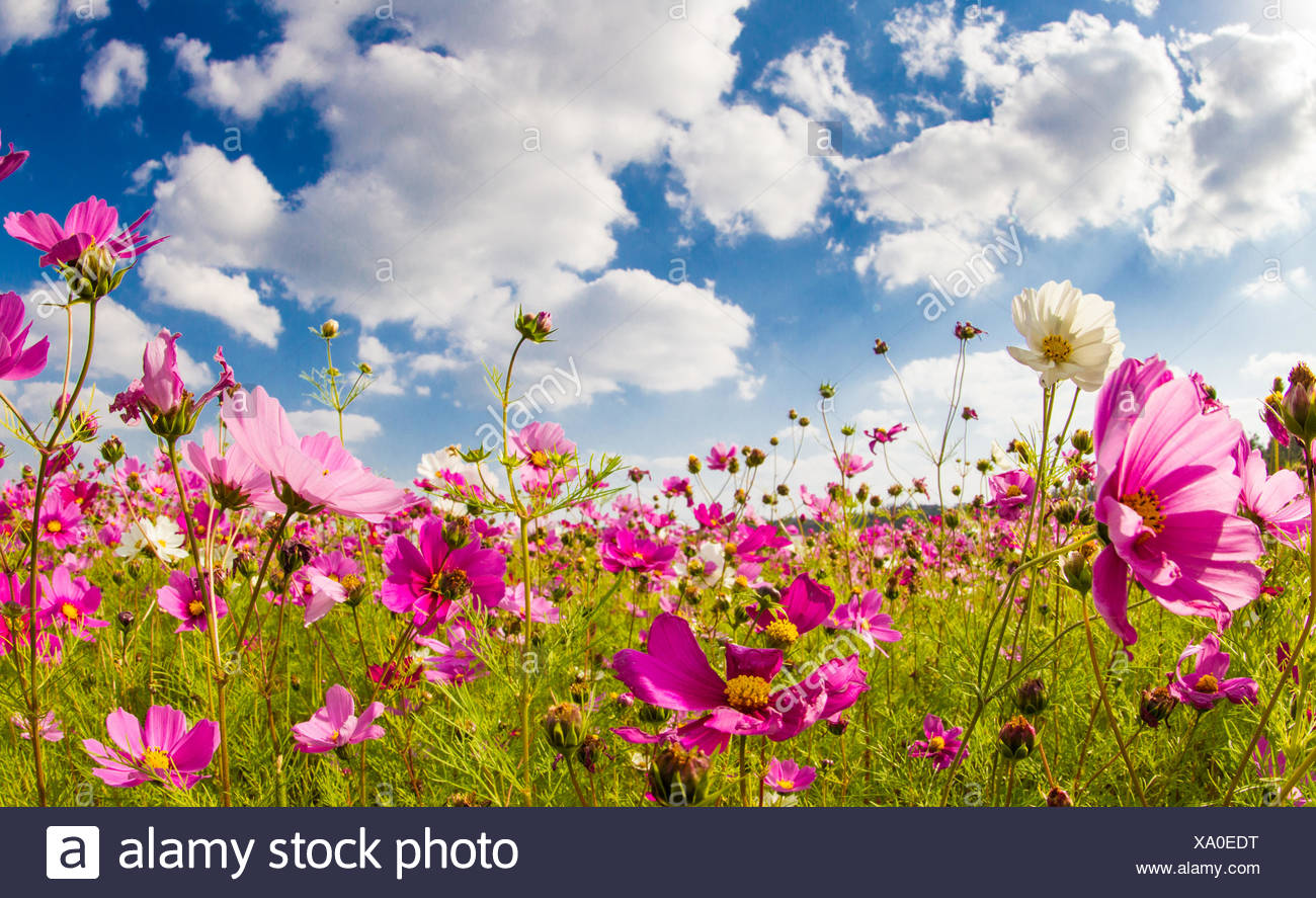 Japan, Okinawa, Cosmos flower field - Stock Image