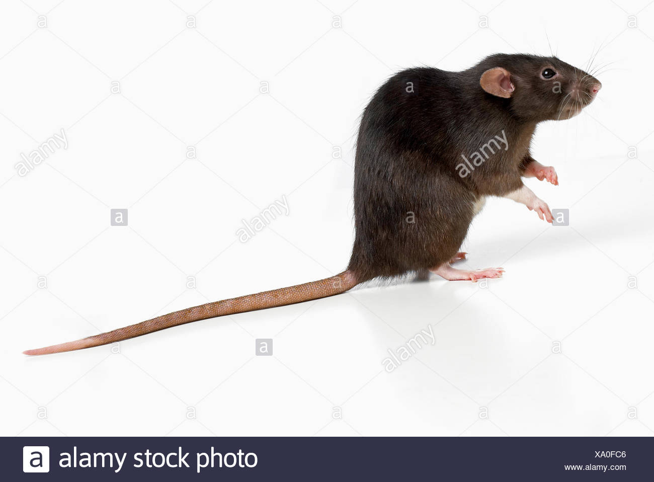 Dumbo rat, pet rat - Stock Image