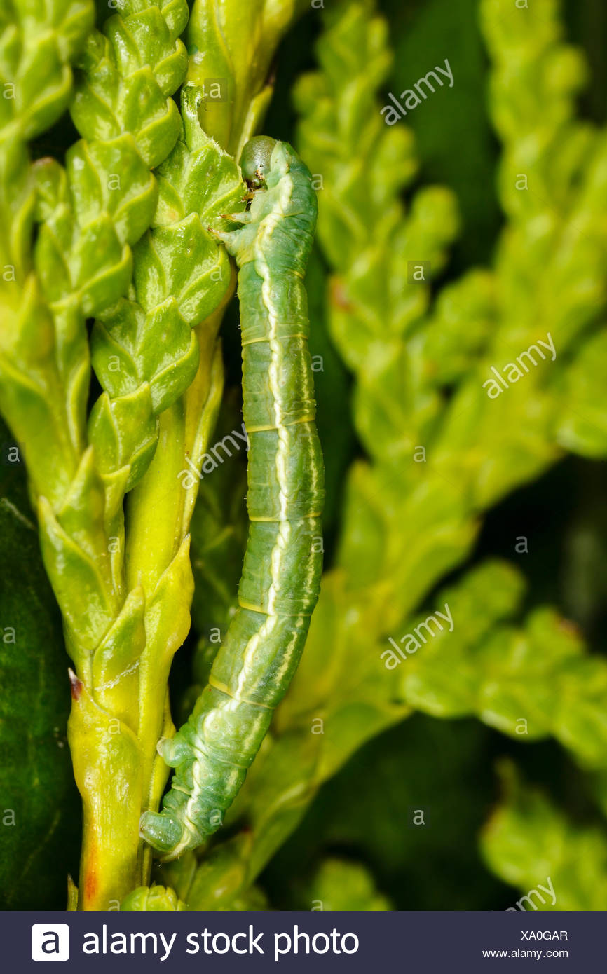 Caterpillar of Freyer's Pug (Eupithecia intricata) eating from a conifer - Stock Image
