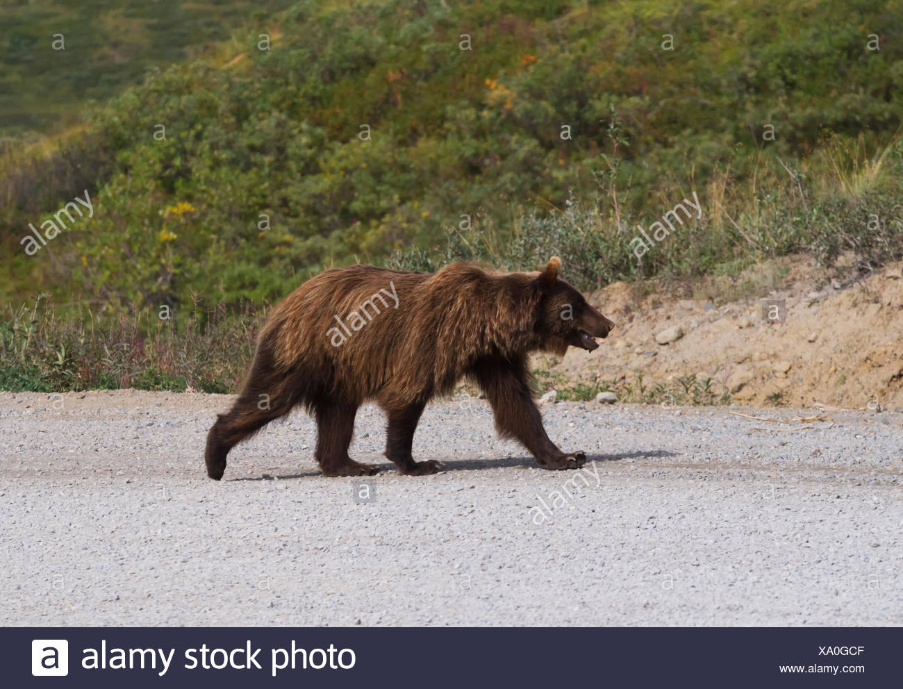 Grizzly bear walking - photo#32