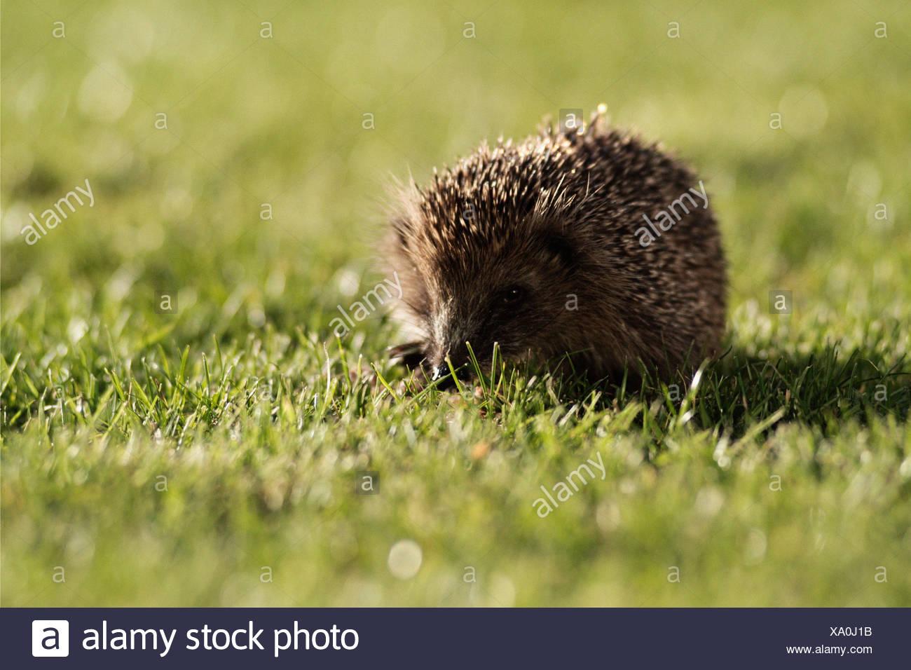 Hedgehog in a field - Stock Image