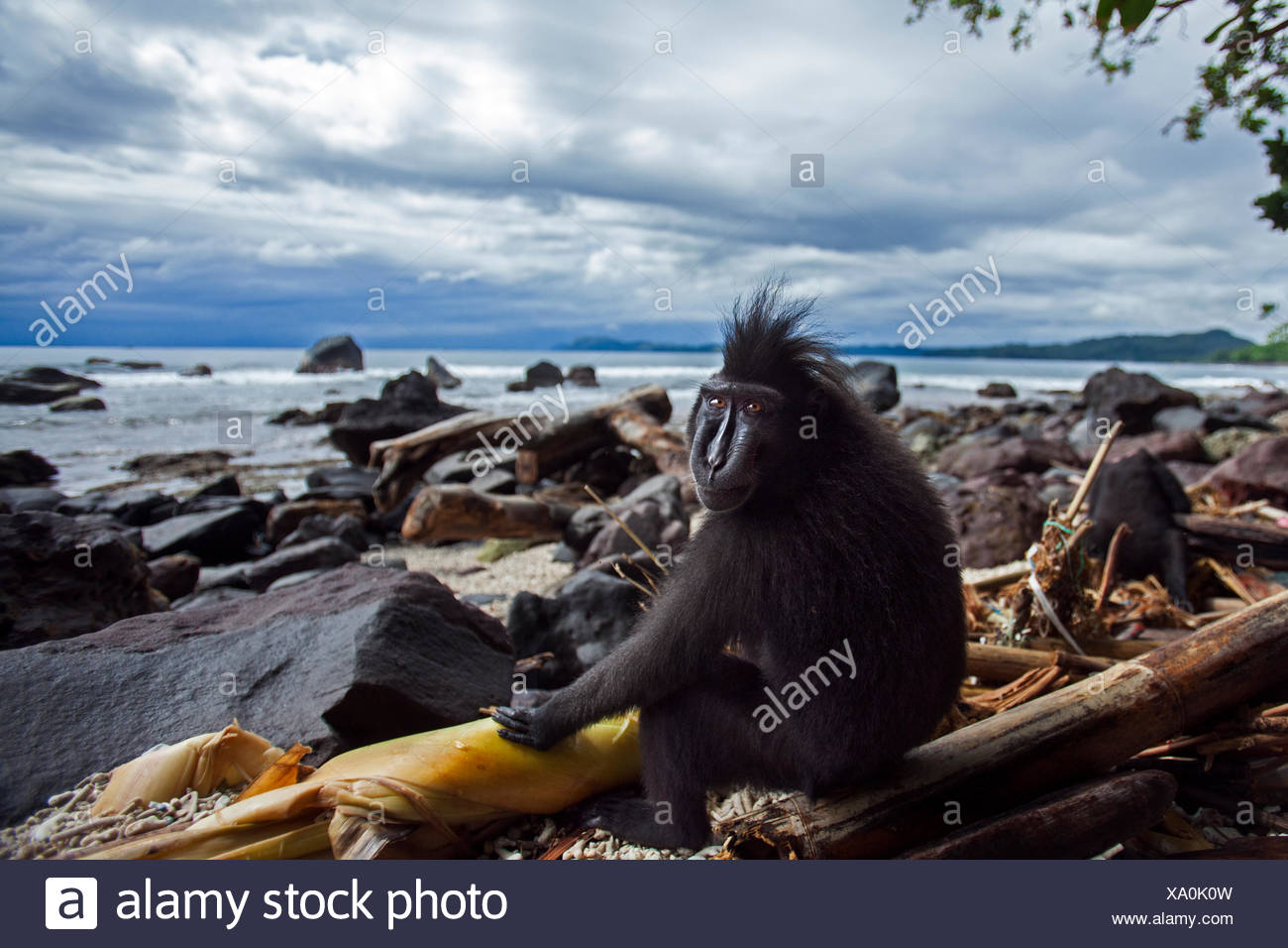 Celebes / Black crested macaque (Macaca nigra)  sub-adult male sitting on a beach, Tangkoko National Park, Sulawesi, Indonesia. - Stock Image