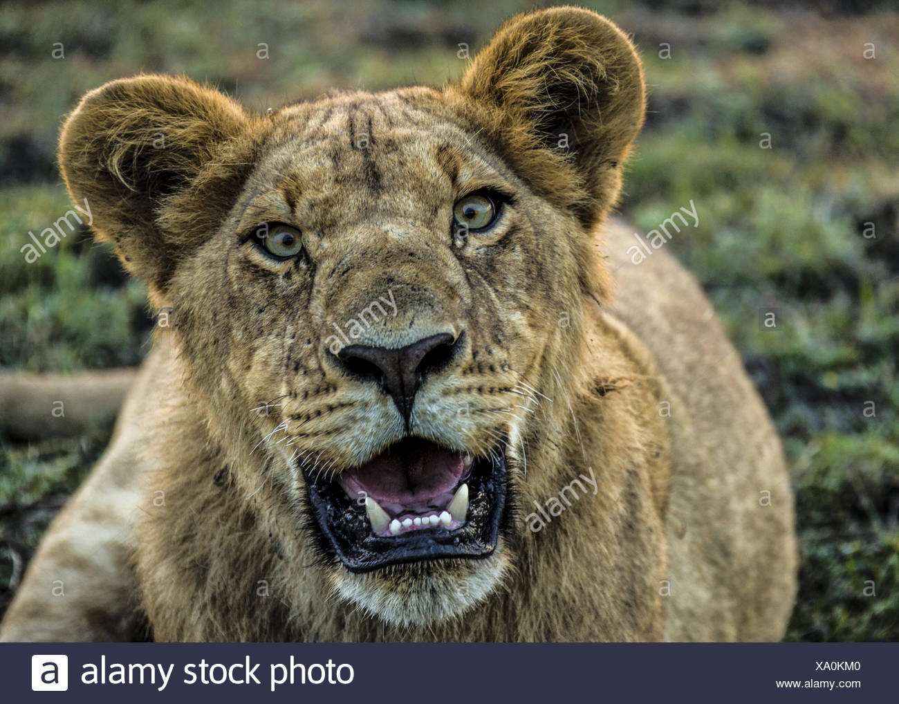 A young male lion, Panthera leo, panting in the heat. - Stock Image