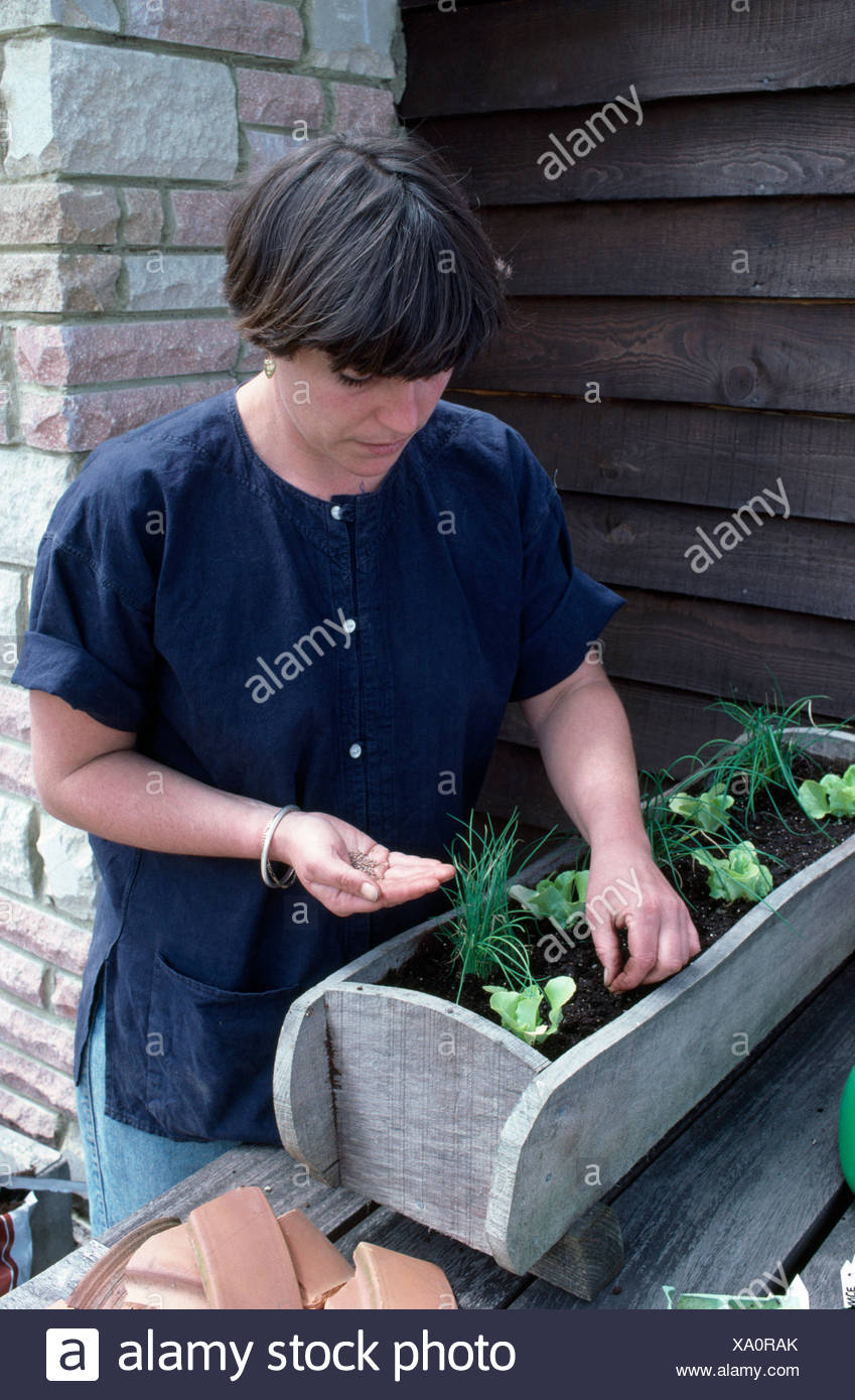 Woman planting up a wooden window box with lettuces and chives     FOR EDITORIAL USE ONLY - Stock Image