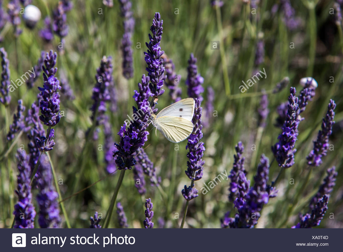 Clouded Apollo (Parnassius mnemosyne), butterfly on a lavender flower, Provence, Gréoux-les-Bains - Stock Image