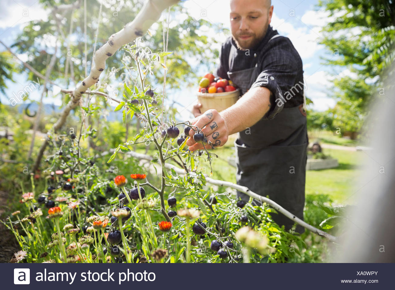 Farm-to-table chef harvesting ripe tomatoes in sunny vegetable garden Stock Photo