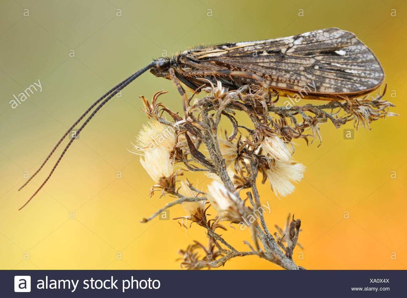 Phryganea bipunctata (Phryganea bipunctata), adult sitting on a thistle, Germany - Stock Image