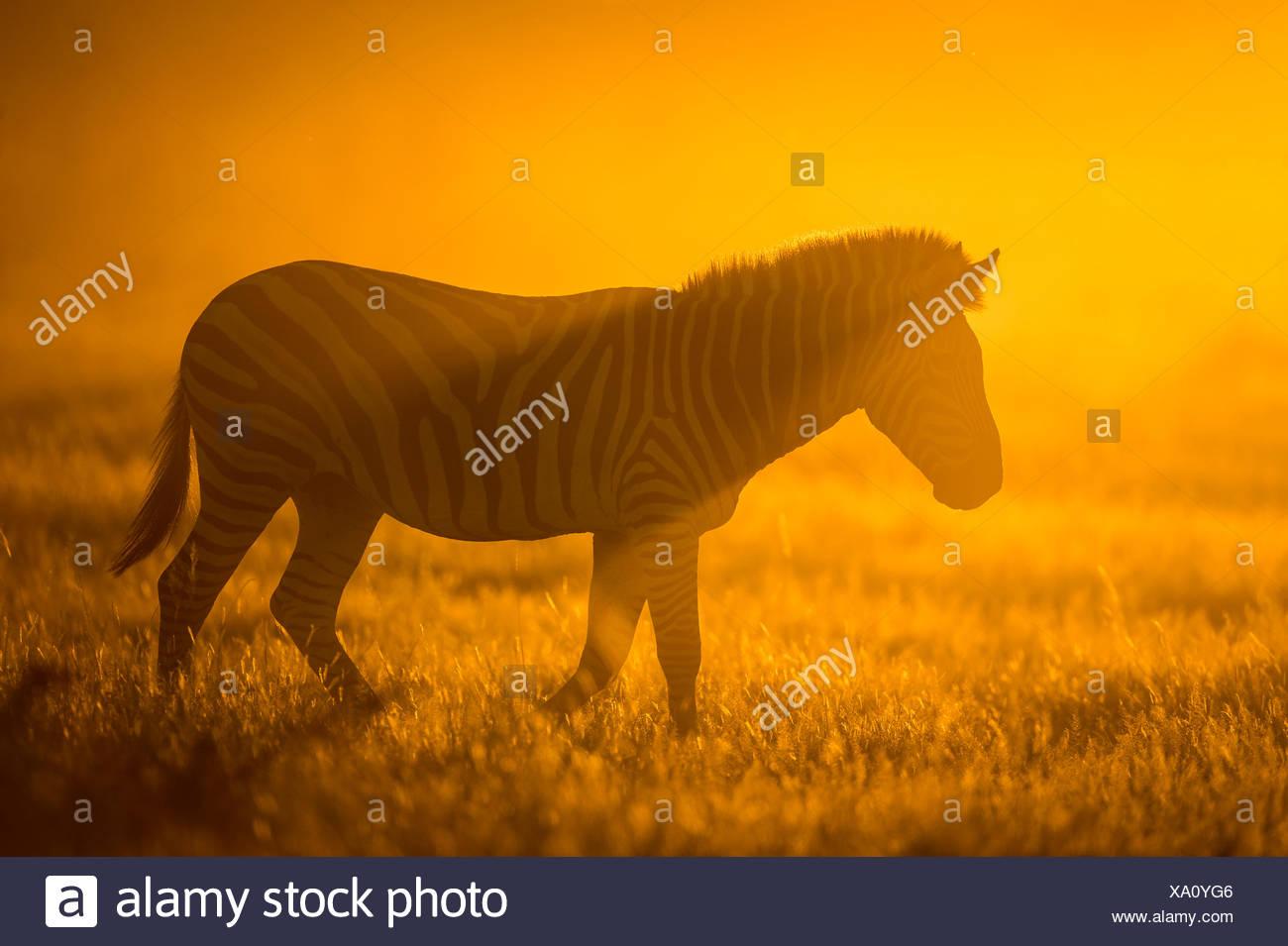 Plains zebra (Equus quagga) at sunset,  Savuti Marsh, Botswana. Stock Photo
