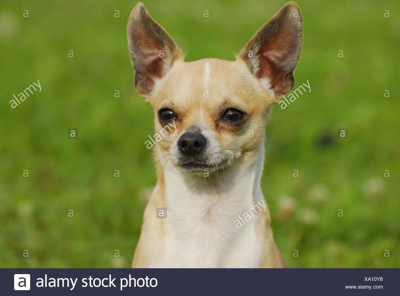 Chihuahua Portrait - Stock Image