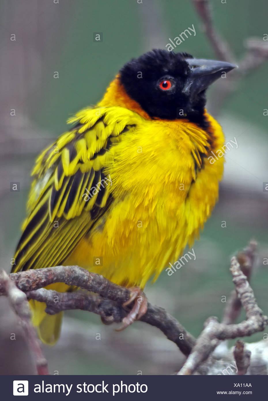 yellow, bird, male, masculine, birds, south africa, angola, sudan, yellow, - Stock Image