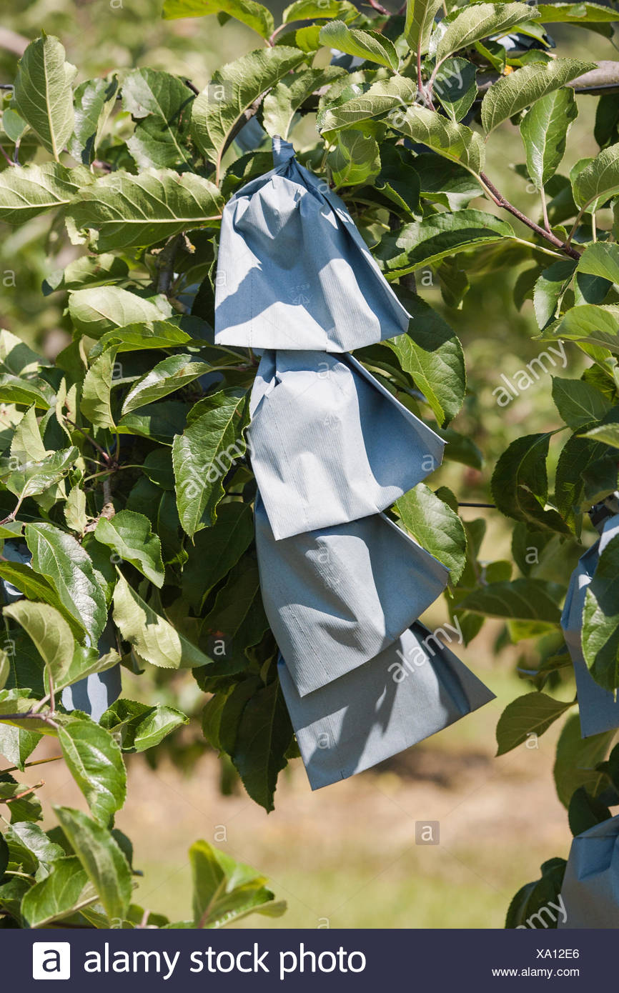 Protection paper over apples on the tree in a garden - Stock Image