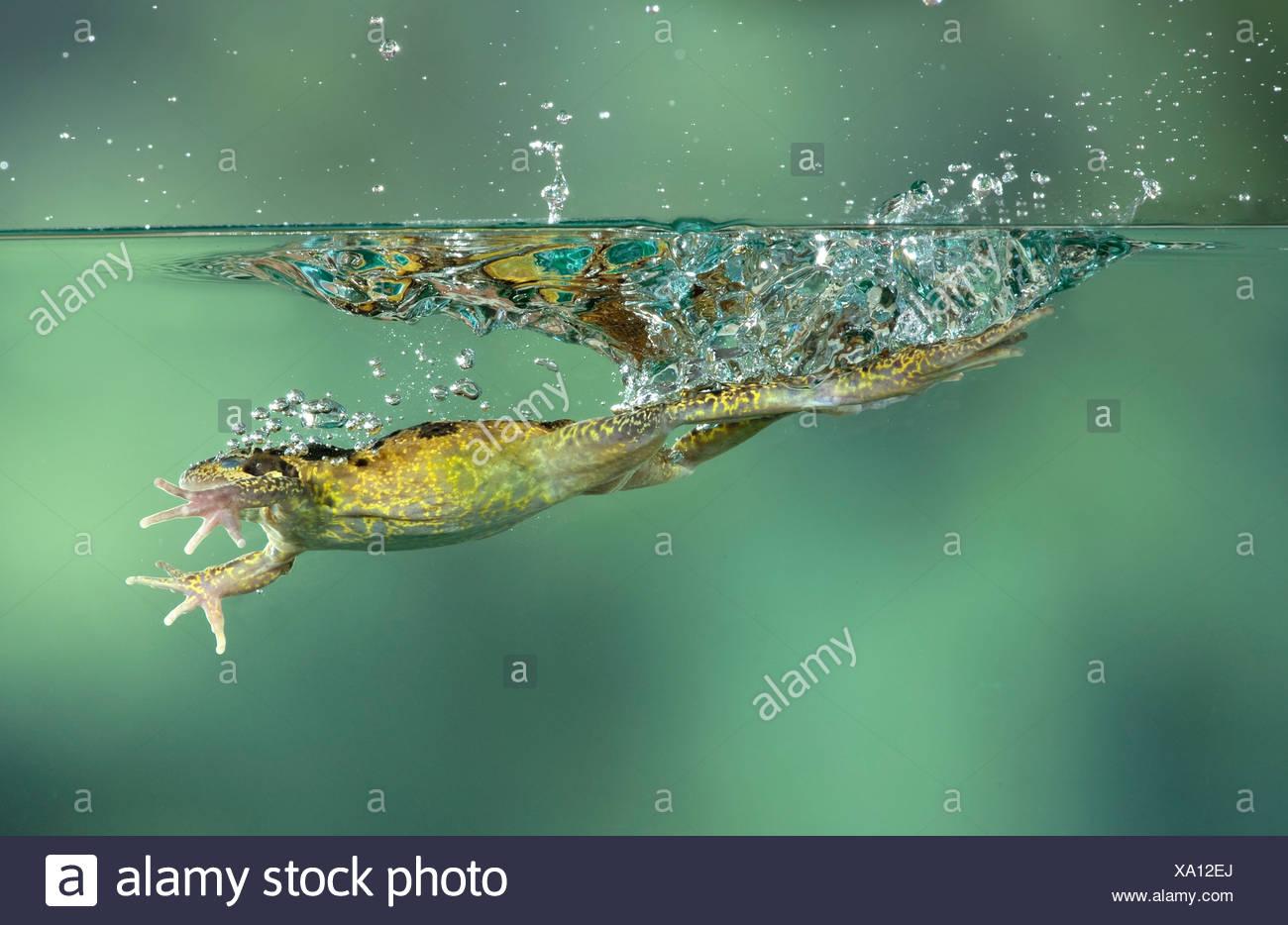 Common Frog Rana temporaria leaping UK - Stock Image