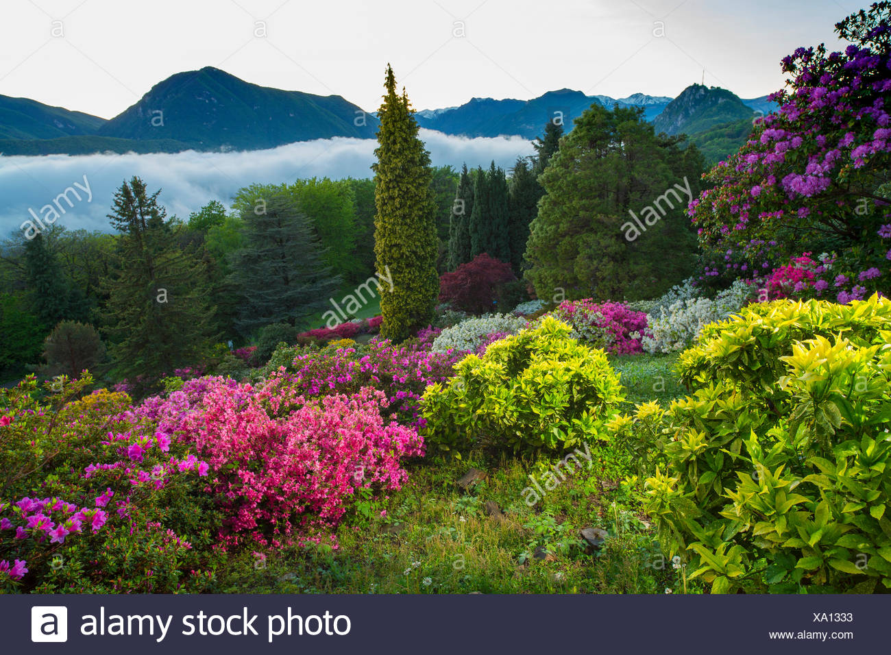 Parco San Grato, rhododendron, Carona, Lake Lugano, flower, flowers, nature, canton, Ticino, Southern Switzerland, Switzerland, - Stock Image