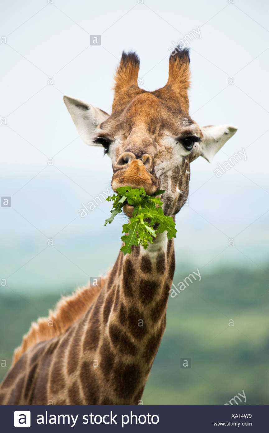 Giraffe eating leaves, game reserve near Durban, KwaZulu-Natal, South Africa - Stock Image