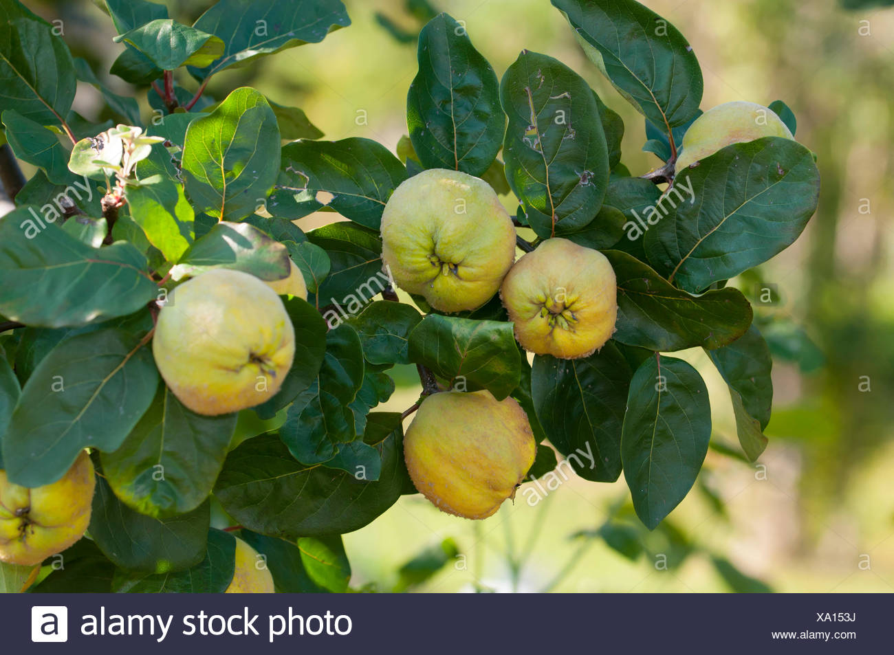 Quinces (Cydonia oblonga, Pyrinae, Rosaceae) in branch - Stock Image