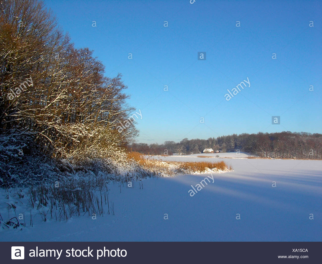 trees Germany Europe froze body of water scenery reed snow lake sea shore wood forest winter iceboundl - Stock Image