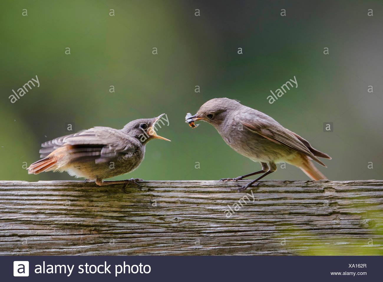 Hausrotschwanz, Haus-Rotschwanz (Phoenicurus ochruros), Weibchen fuettert bettelnden flueggen Jungvogel mit einem Kaefer, Deutsc - Stock Image