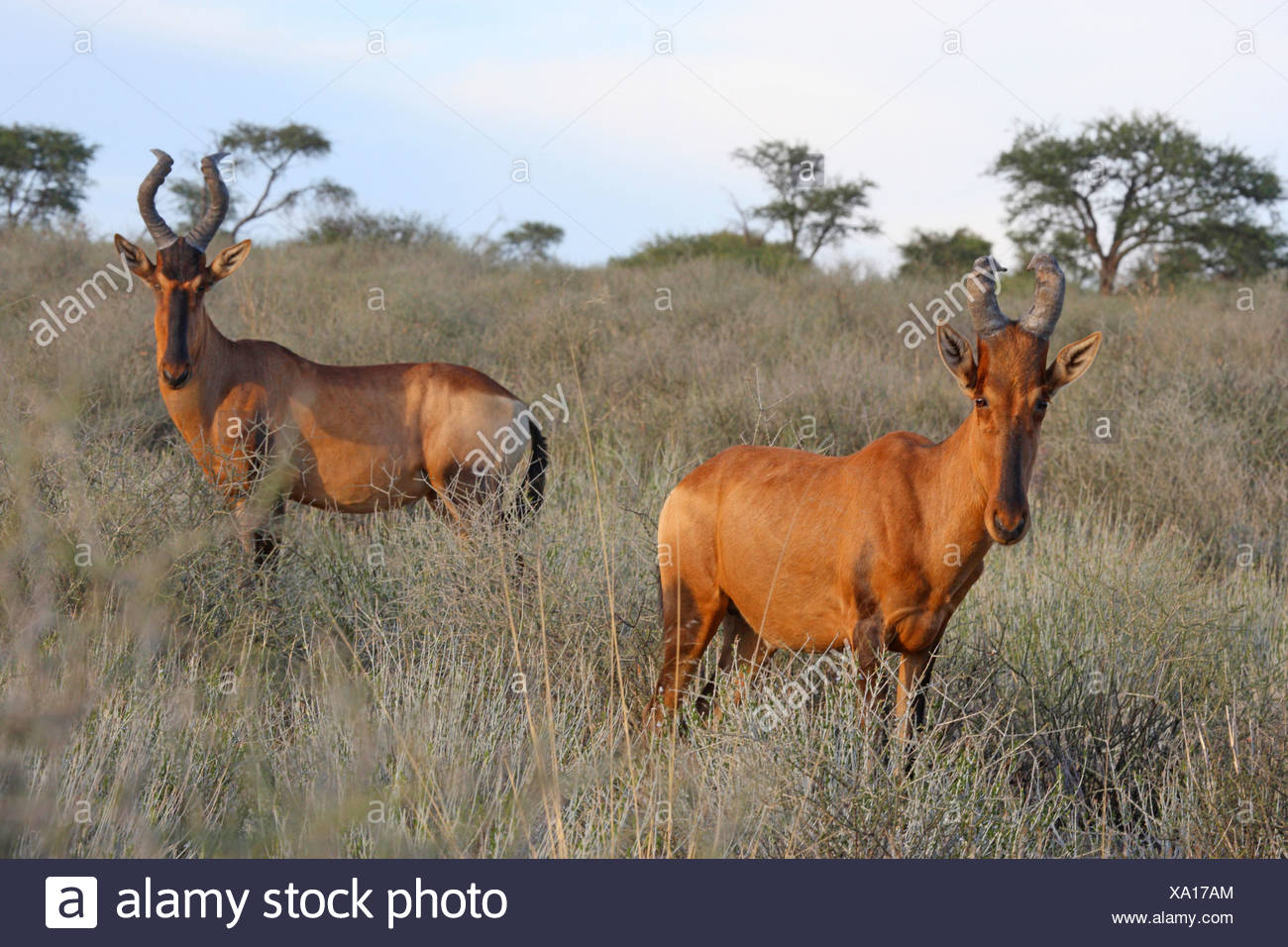 red hartebeest (Alcelaphus buselaphus), two animals in the savannah, South Africa, Kgalagadi Transfrontier National Park Stock Photo