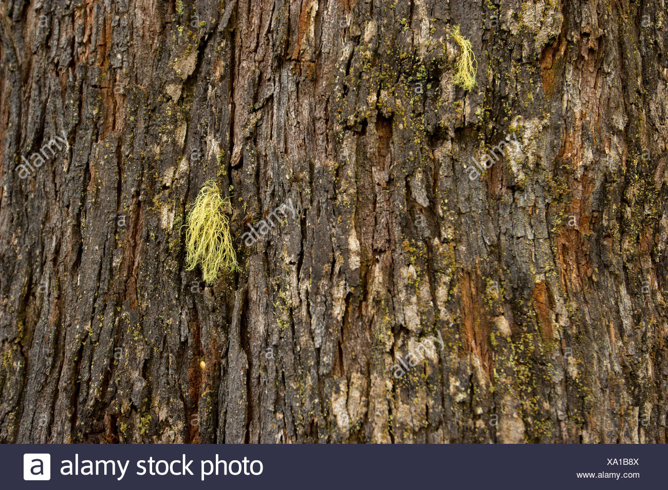 Tufts of moss grow on the trunk of a Mountain Ash, Eucalyptus regnans, 10 meters above the ground in Tasmania, Australia. - Stock Image