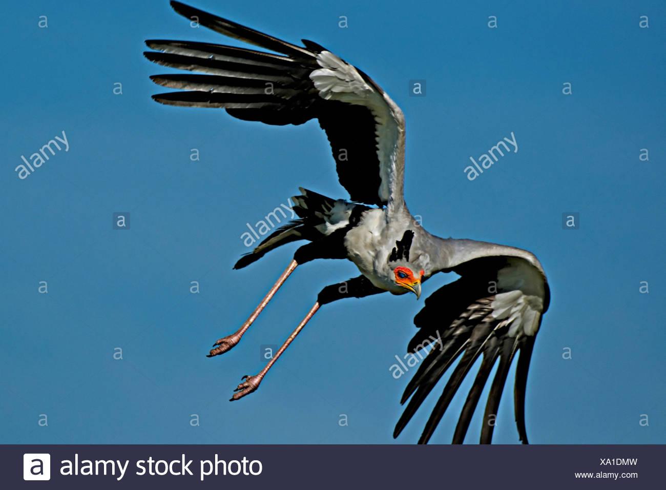 Secretary Bird in Flight Stock Photo