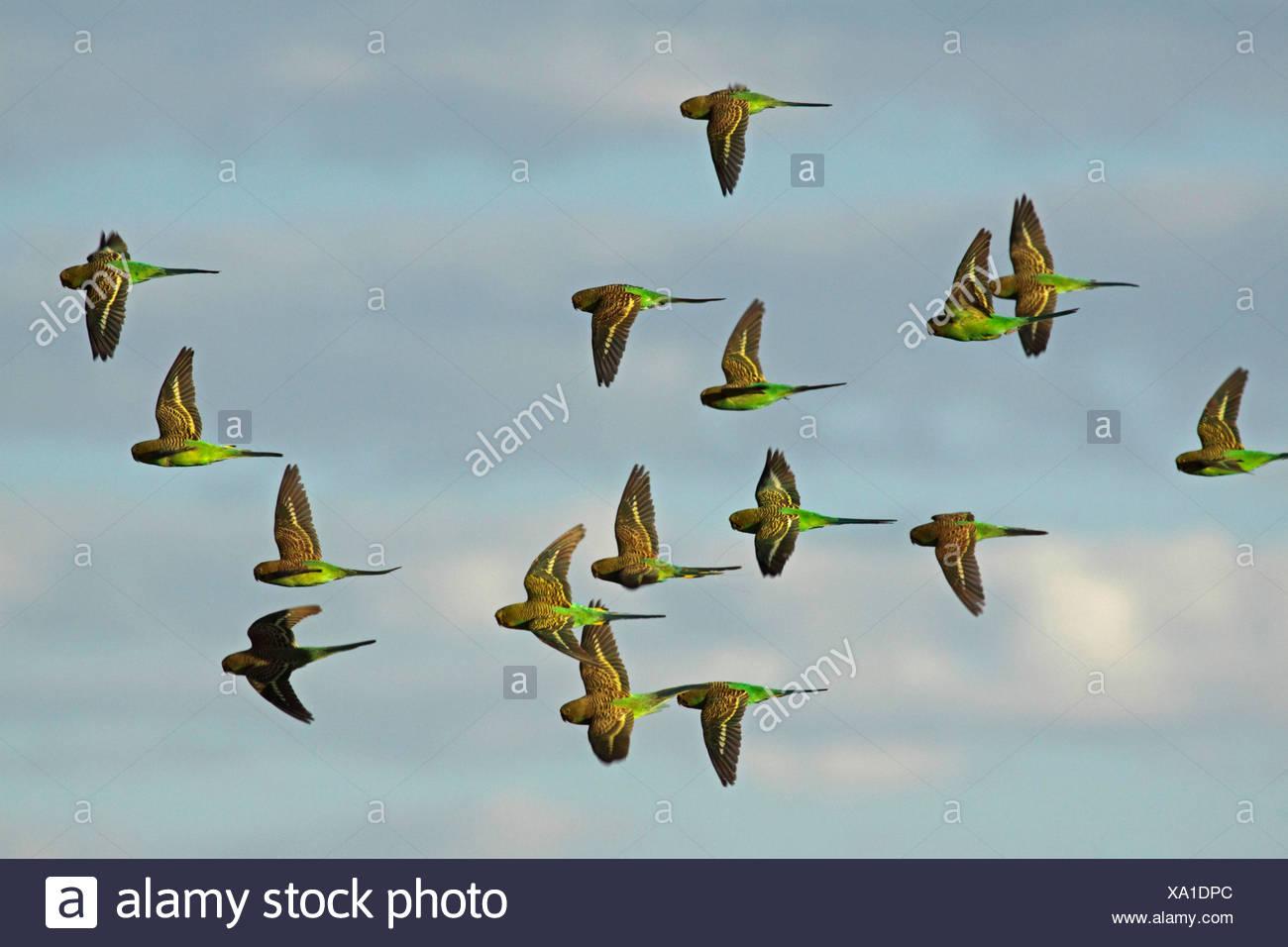 budgerigar, budgie, parakeet (Melopsittacus undulatus), flying flock, Australia, Northern Territory, Western MacDonnell Ranges - Stock Image