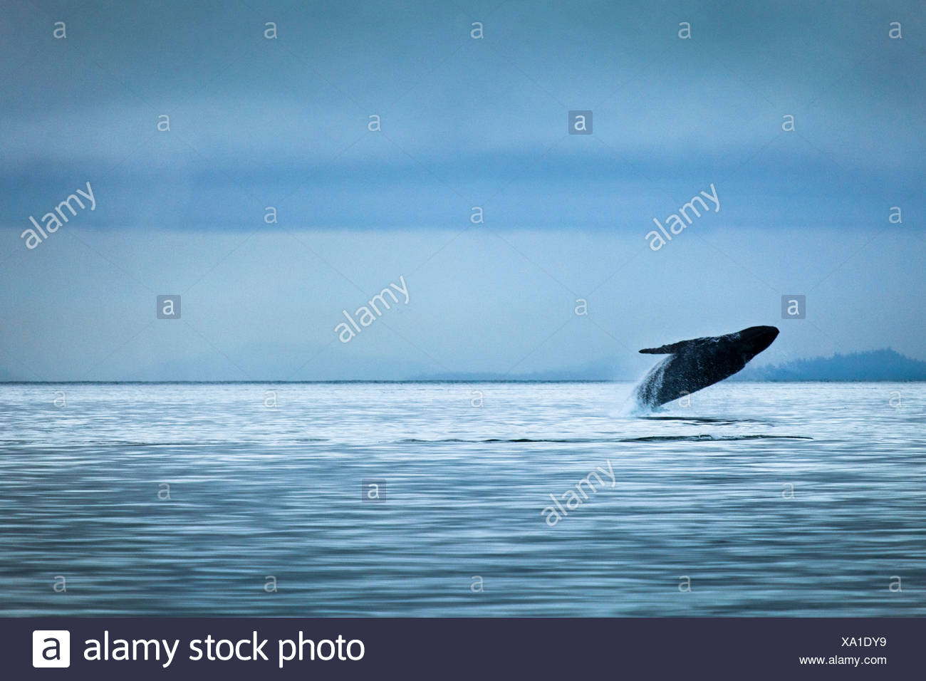Humpback Whale breaching on an overcast day, Glacier Bay National Park & Preserve, Southeast Alaska, Summer. - Stock Image