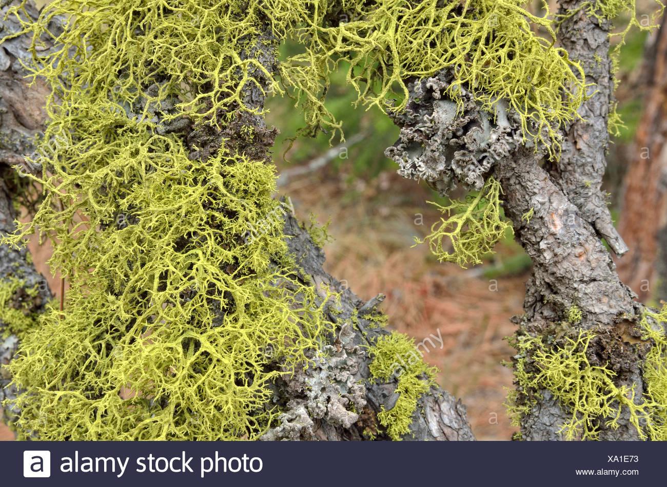 Lichen species (Usnea), Coeur d'Alene, Idaho, USA - Stock Image