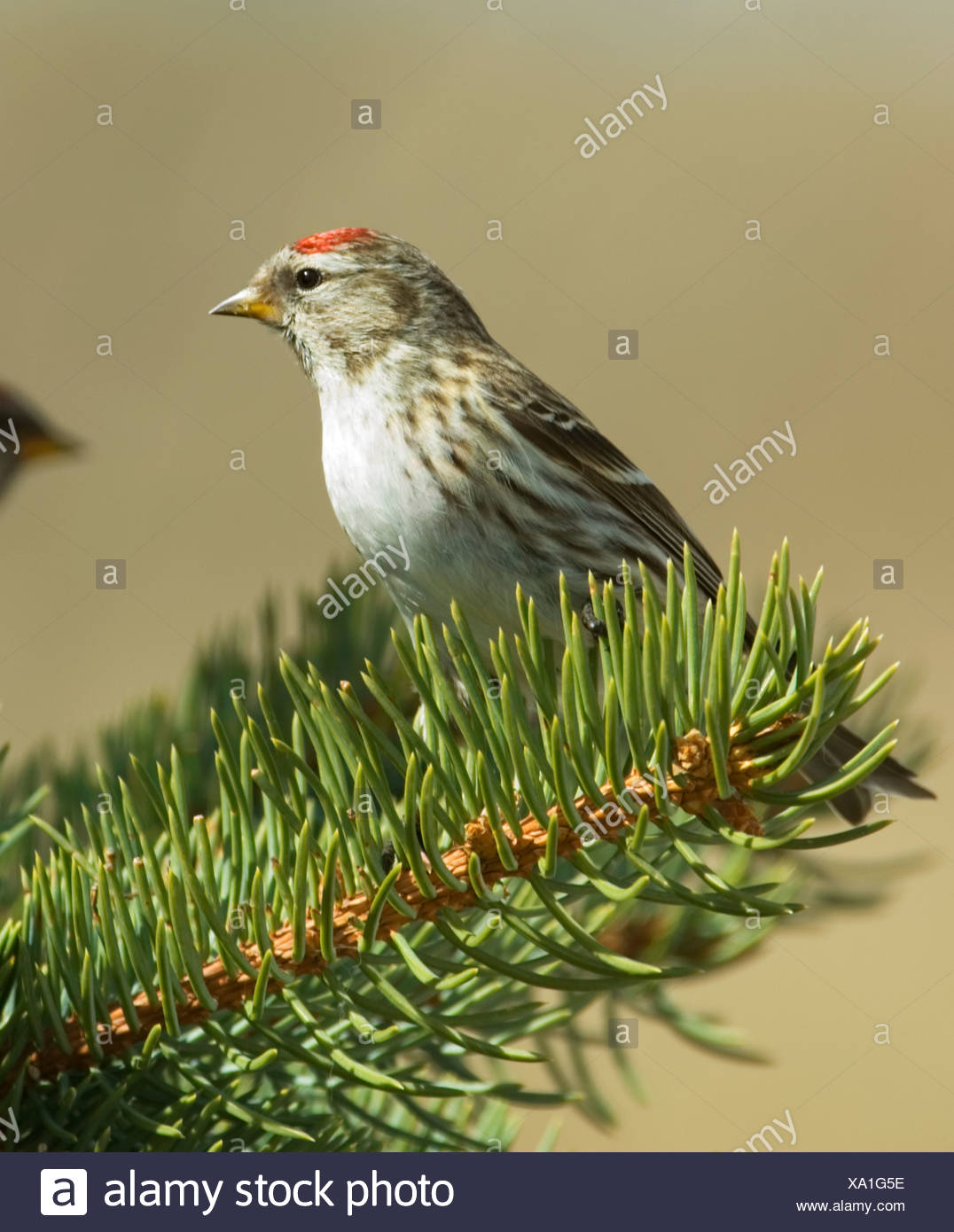 Common Redpole (Carduelis flammen) Female. A small Finch of northern forests and tundra which often forms flocks with other finc - Stock Image