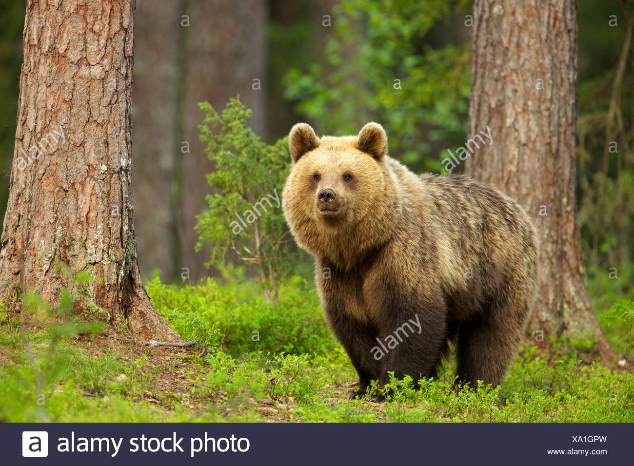 Brown bear walking through forest, Taiga Forest, Finland - Stock Image