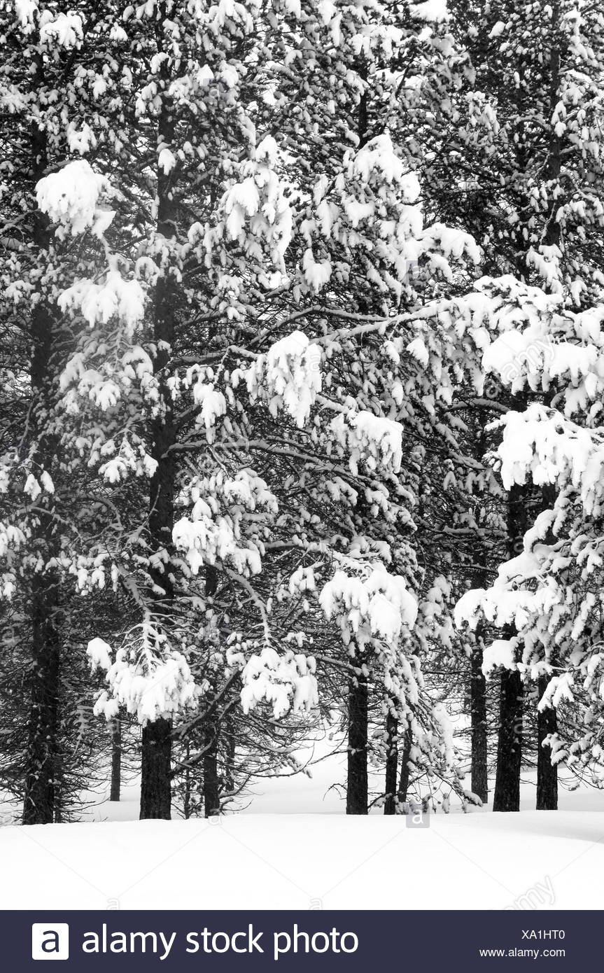 Snow covered forest, Sweden. - Stock Image