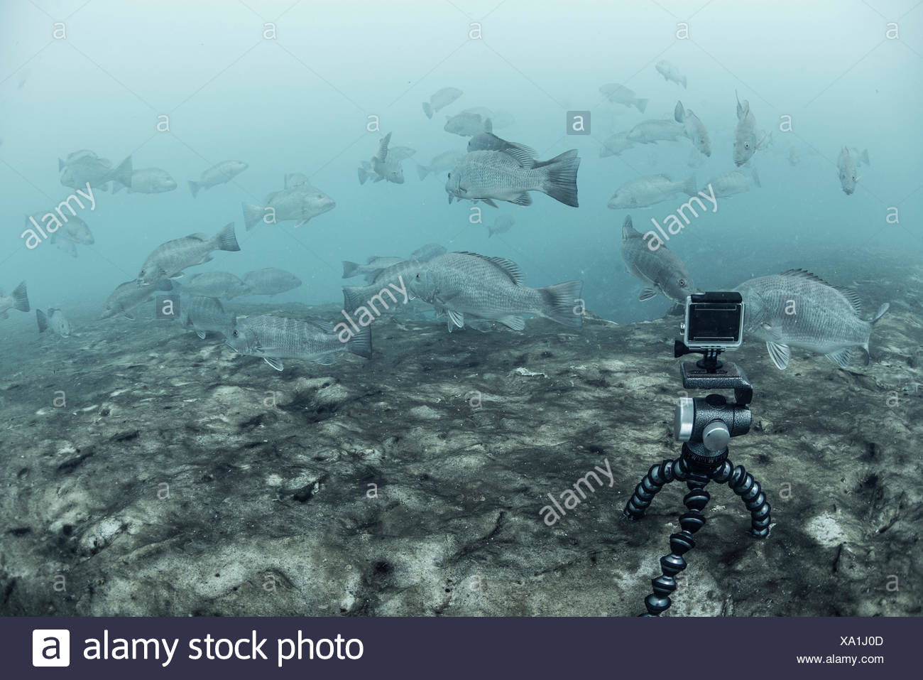 Underwater camera on tripod filming school of cubera snapper, Sian Kaan biosphere reserve, Quintana Roo, Mexico - Stock Image
