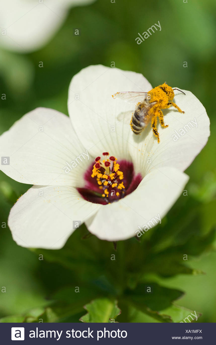 bladder ketmia, flower-of-an-hour, venice mallow (Hibiscus trionum), flower with bee, Germany - Stock Image
