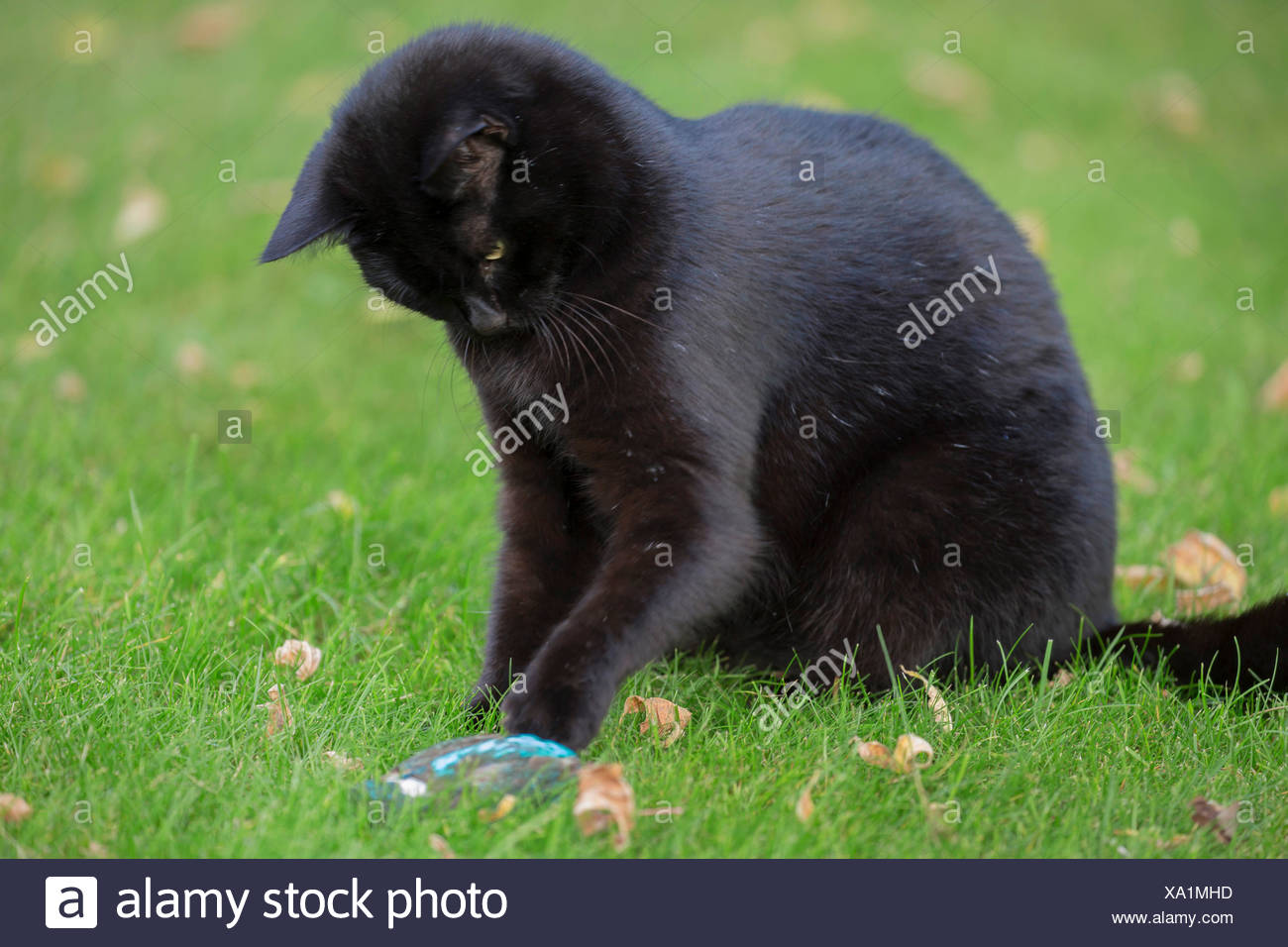 domestic cat, house cat (Felis silvestris f. catus), plays with caught kingfisher, Germany, Bavaria, Niederbayern, Lower Bavaria - Stock Image