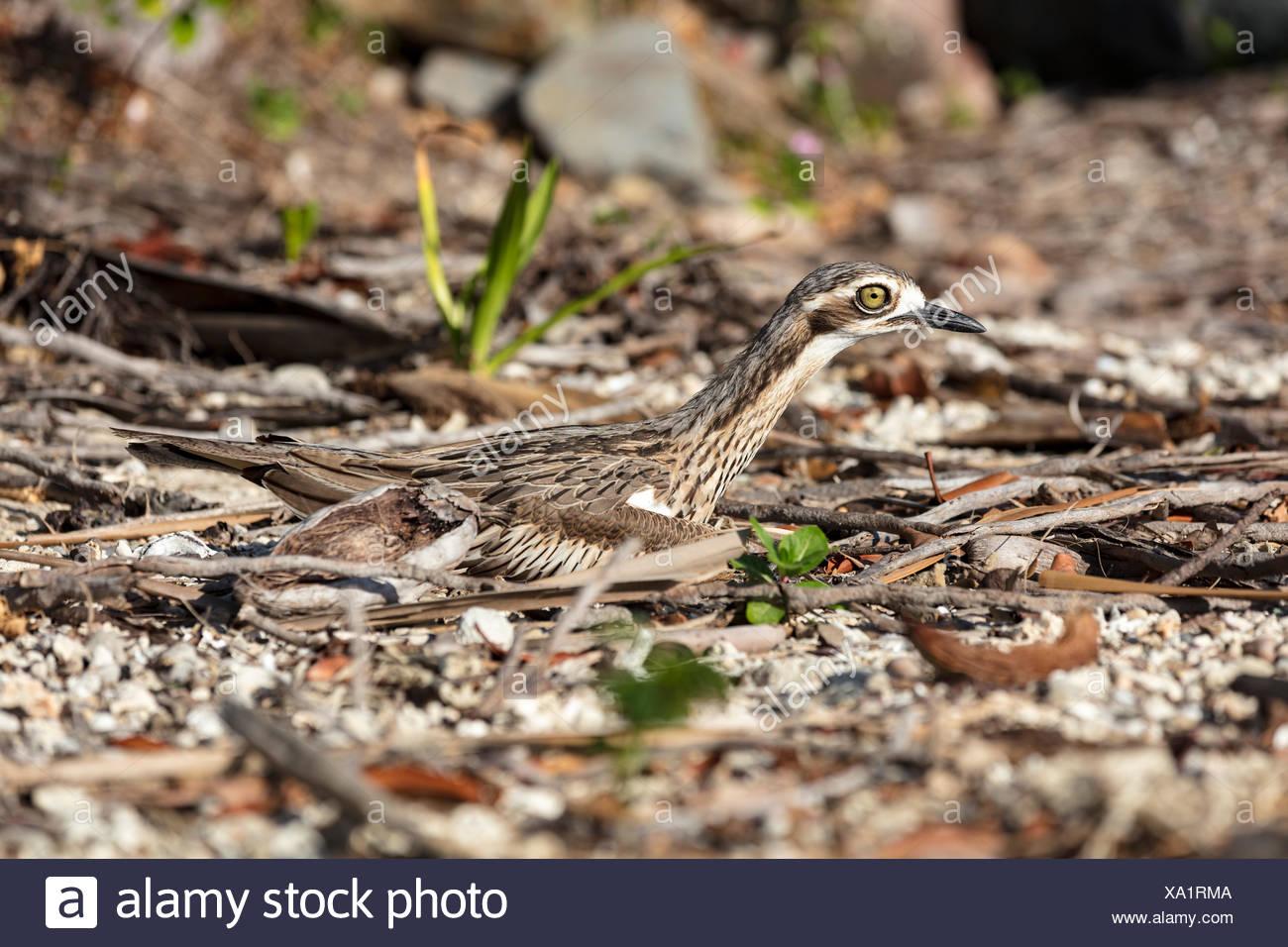 Bush stone-curlews (Burhinus grallarius) in crouched position, endemic beach bird, Whitsundays, Queensland, Australia Stock Photo