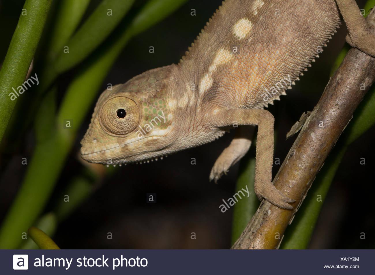 Panther chameleon (Furcifer pardalis), offspring, Sambava, northeast Madagascar, Madagascar - Stock Image