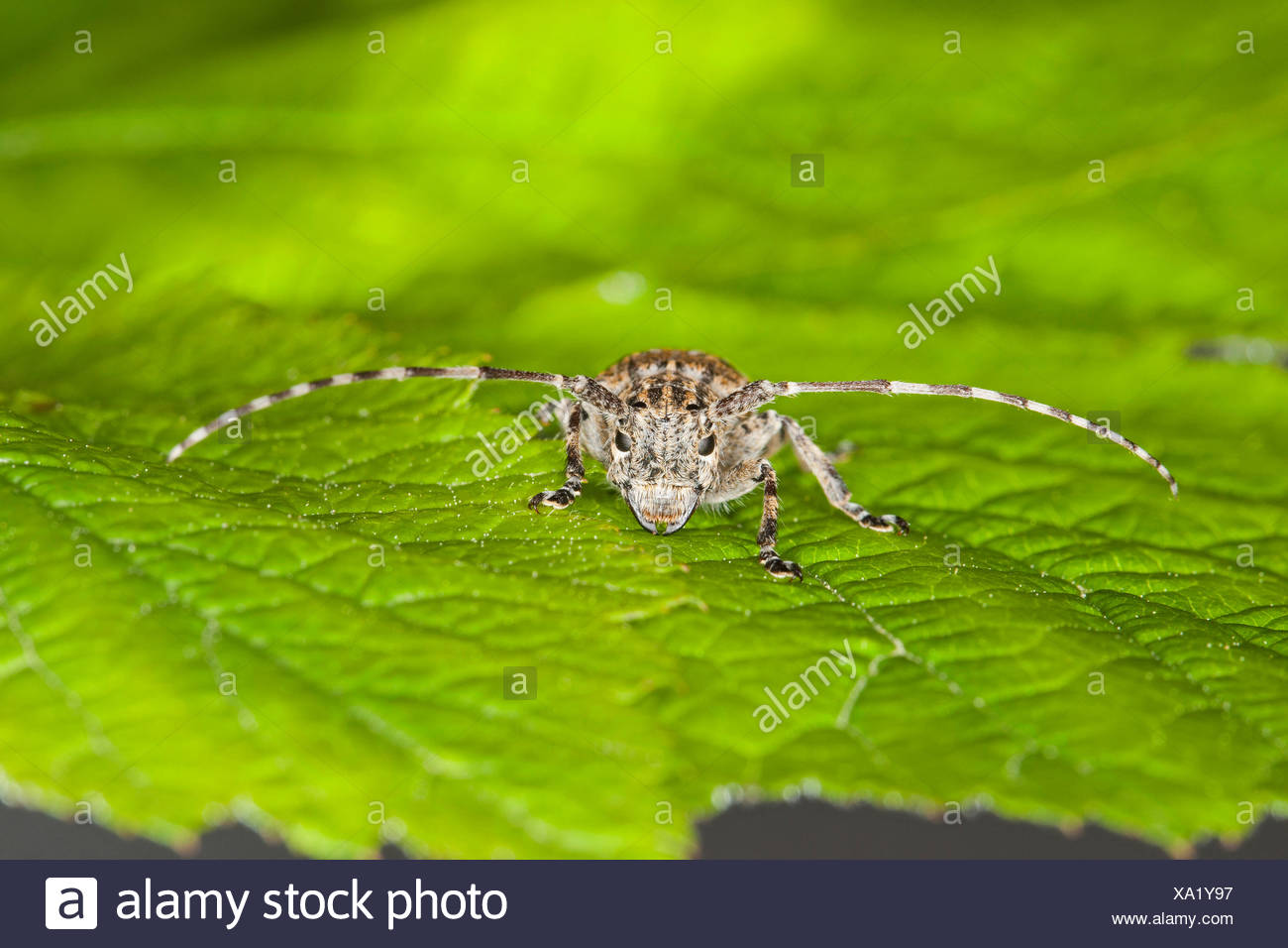 White-clouded longhorn beetle (Mesosa nebulosa), on a leaf, Germany - Stock Image