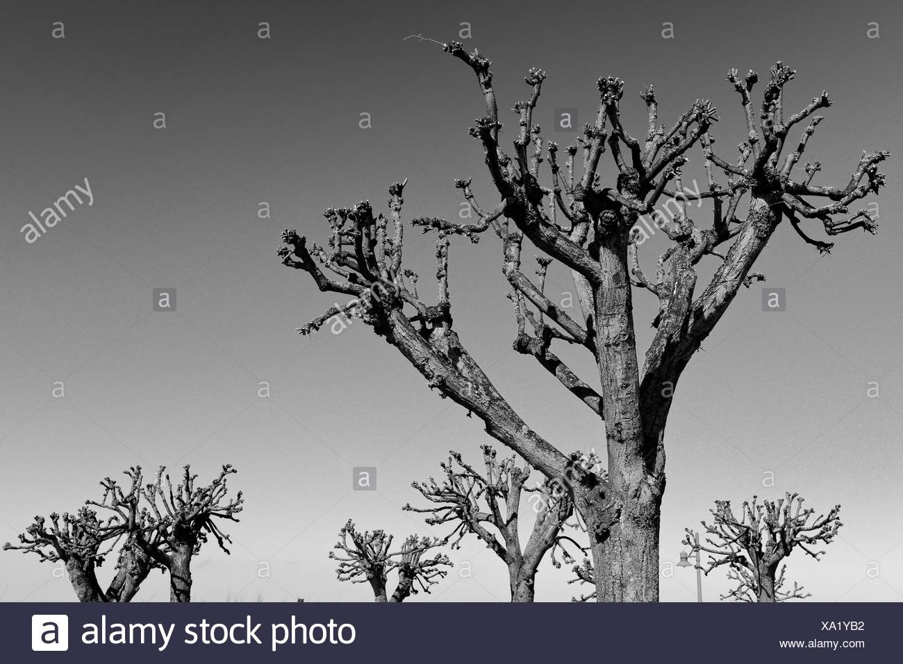 Trees | Seaside resort Ahlbeck, Germany - Stock Image