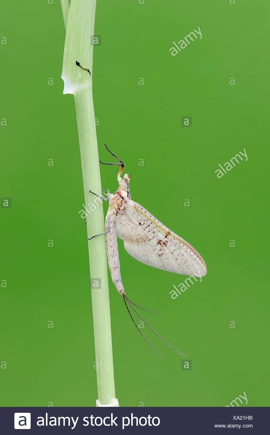 Mayfly (Ephemera glaucops), female, North Rhine-Westphalia, Germany - Stock Image