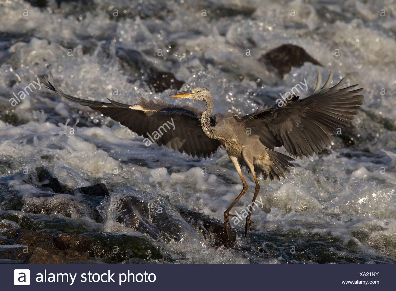 grey heron (Ardea cinerea), fishing in a creek, Germany, North Rhine-Westphalia, Muensterland Stock Photo