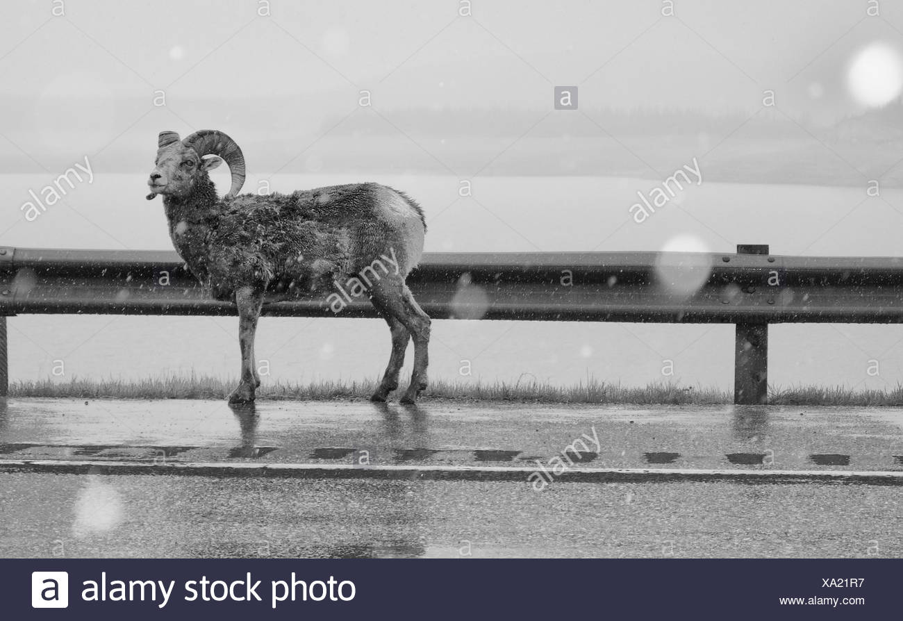 Bighorn Sheep on Highway 11 at Michener Viewpoint on Abraham Lake, Kootenay Plains, Alberta, Canada - Stock Image