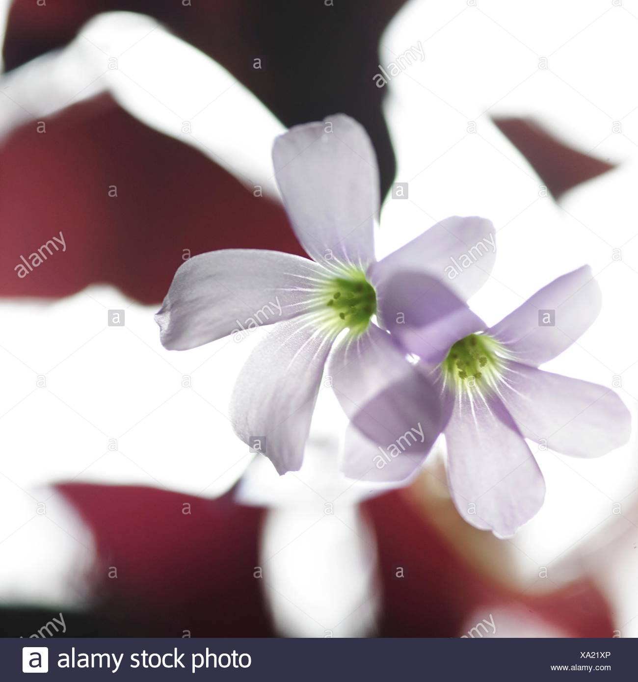 Transparent purple flowers and burgundy red leaves - Stock Image