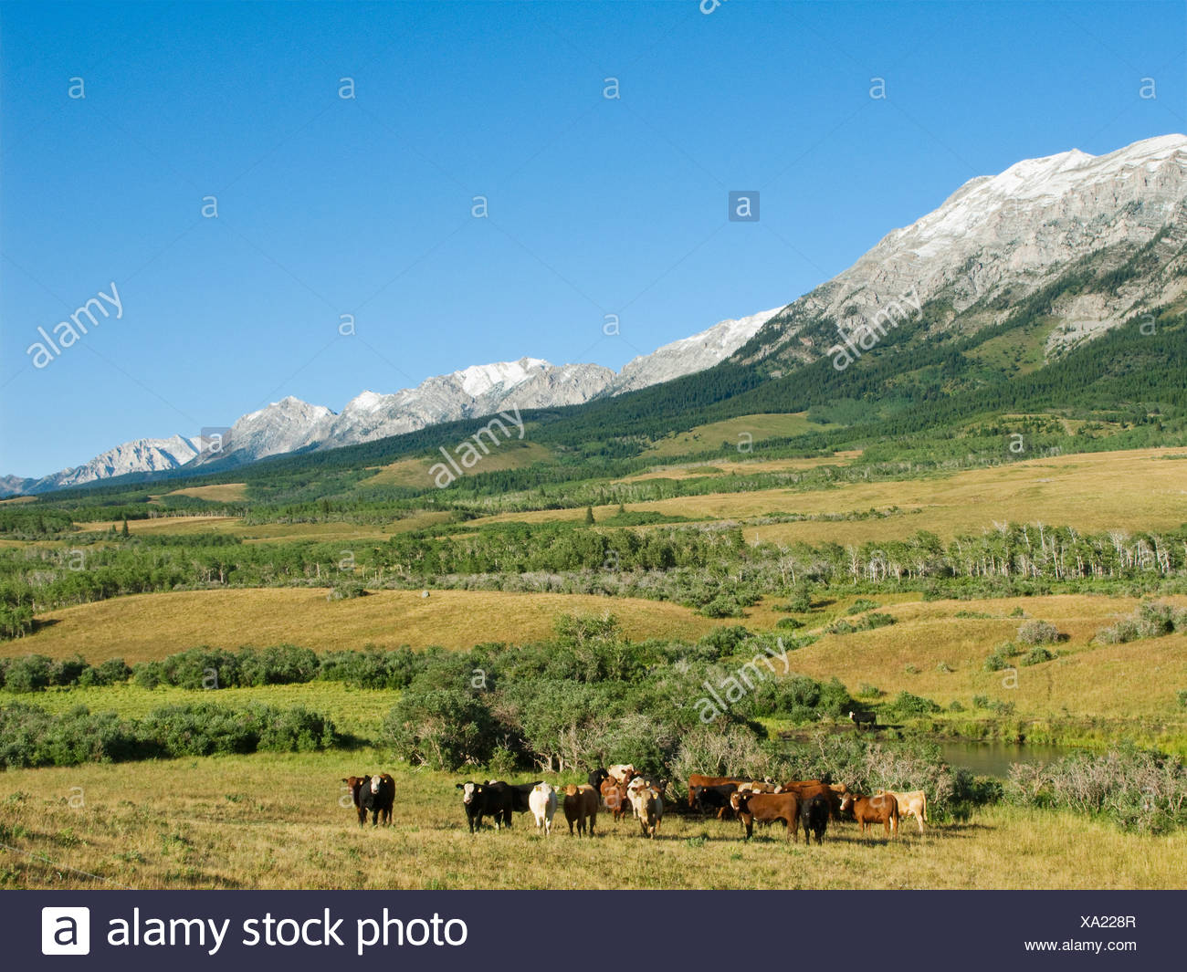 Livestock - Mixed breeds of beef steers on native rangelands in the Canadian Rockies / Alberta, Canada. - Stock Image