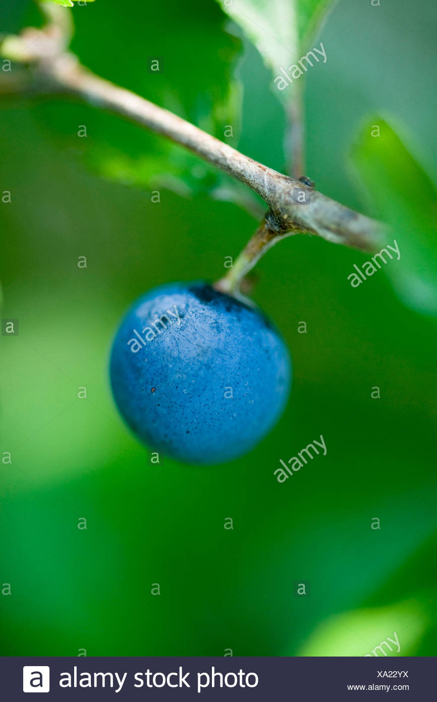 blackthorn, sloe (Prunus spinosa), mature fruit on a branch, Germany - Stock Image