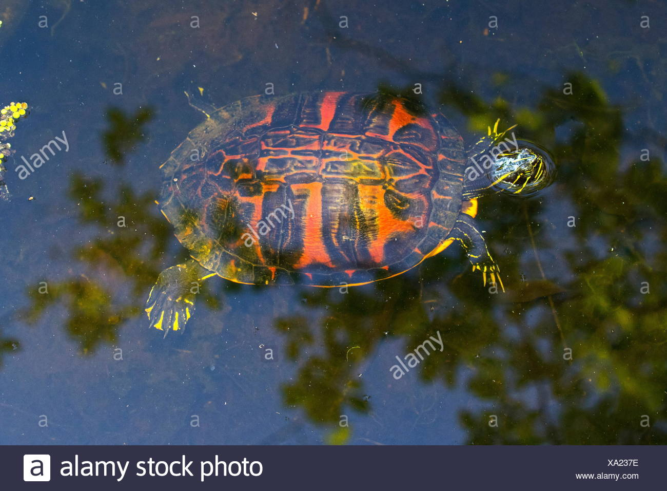 A Florida red bellied cooter, Pseudemys nelsoni, on the water's surface. Stock Photo
