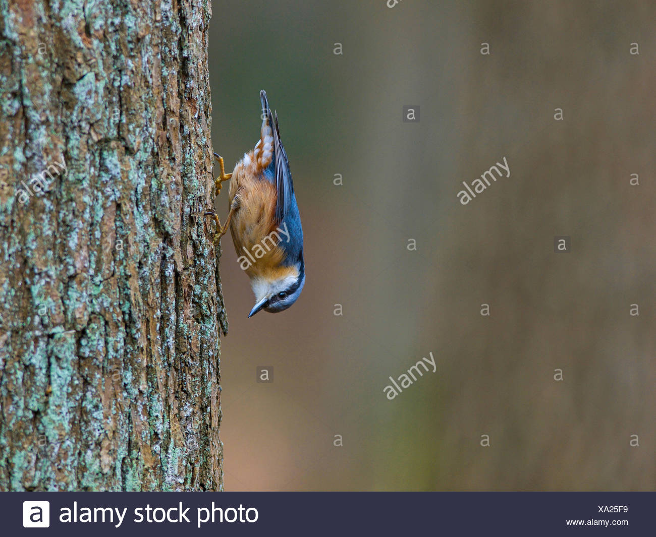Eurasian nuthatch (Sitta europaea), searches for food on a oak tree , Germany - Stock Image