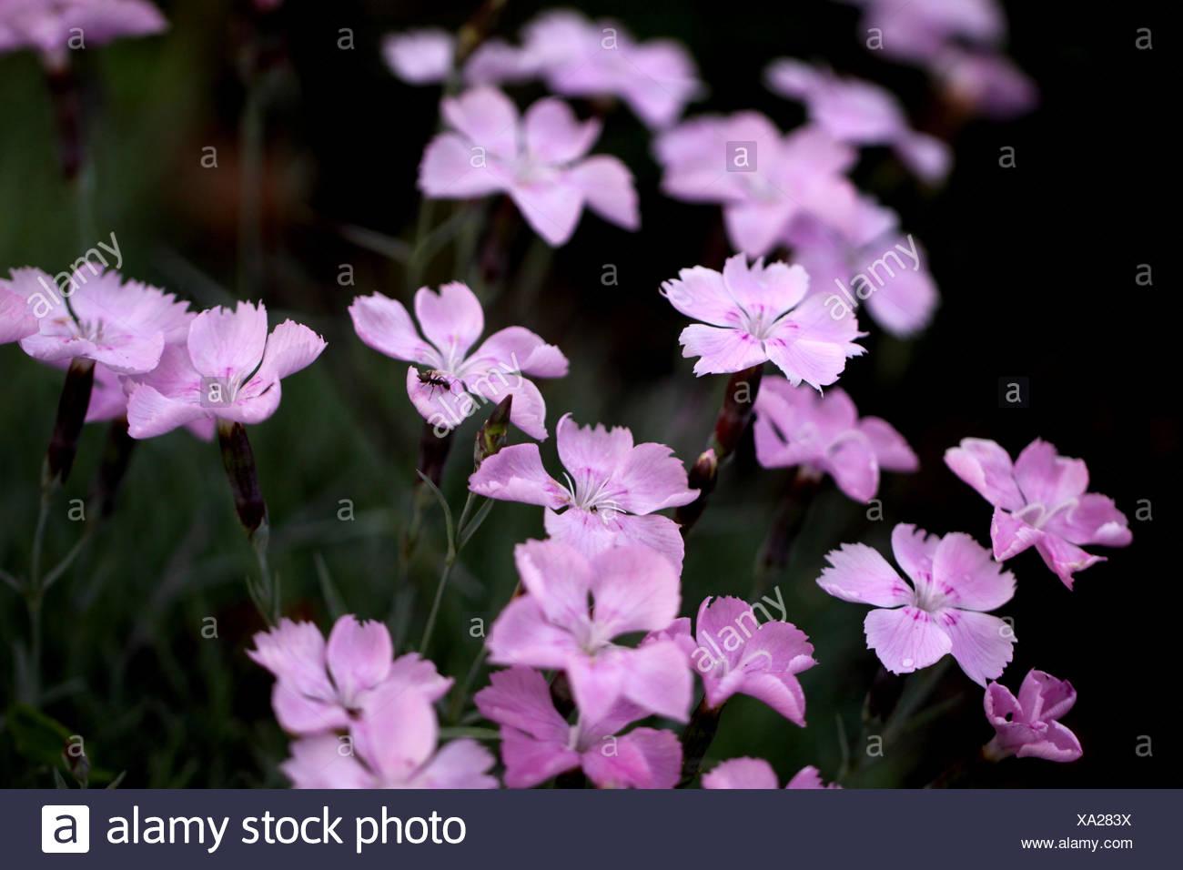 pinks macro - Stock Image