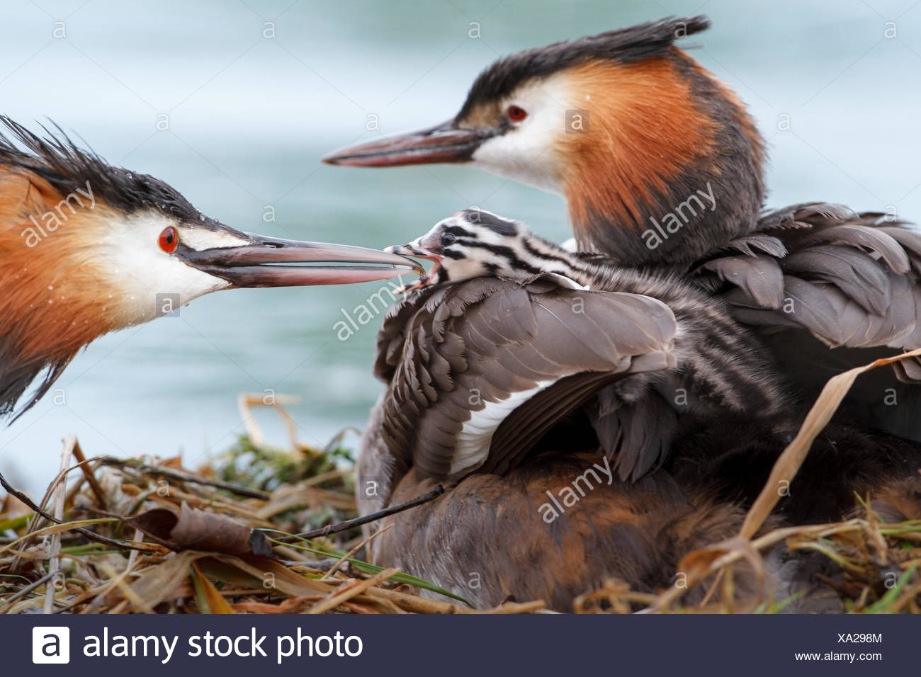 Great crested grebes (Podiceps cristatus) with young birds at the nest, feeding, Baden-Württemberg, Germany - Stock Image