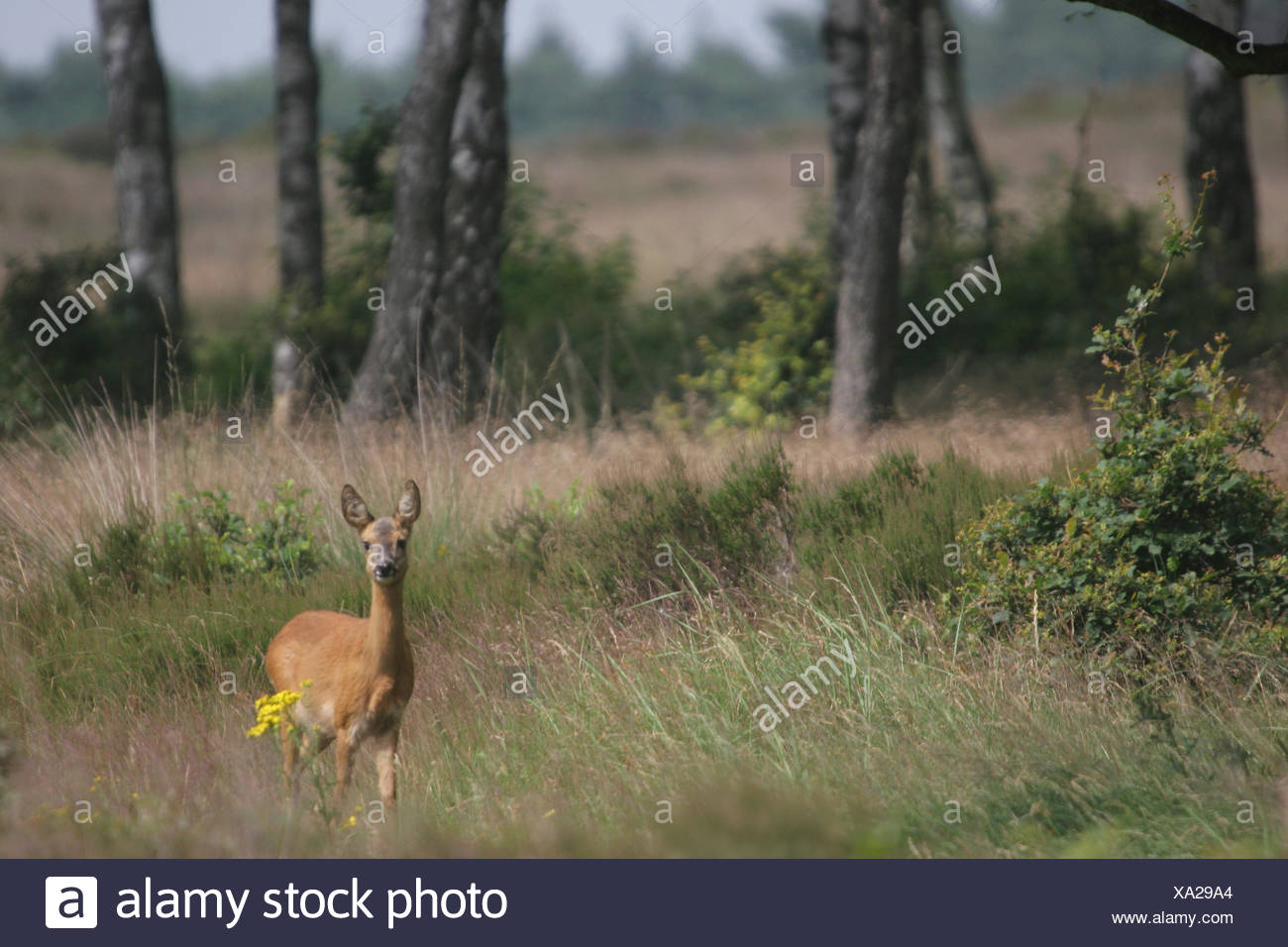 Roe deer standing in her natural environment Stock Photo