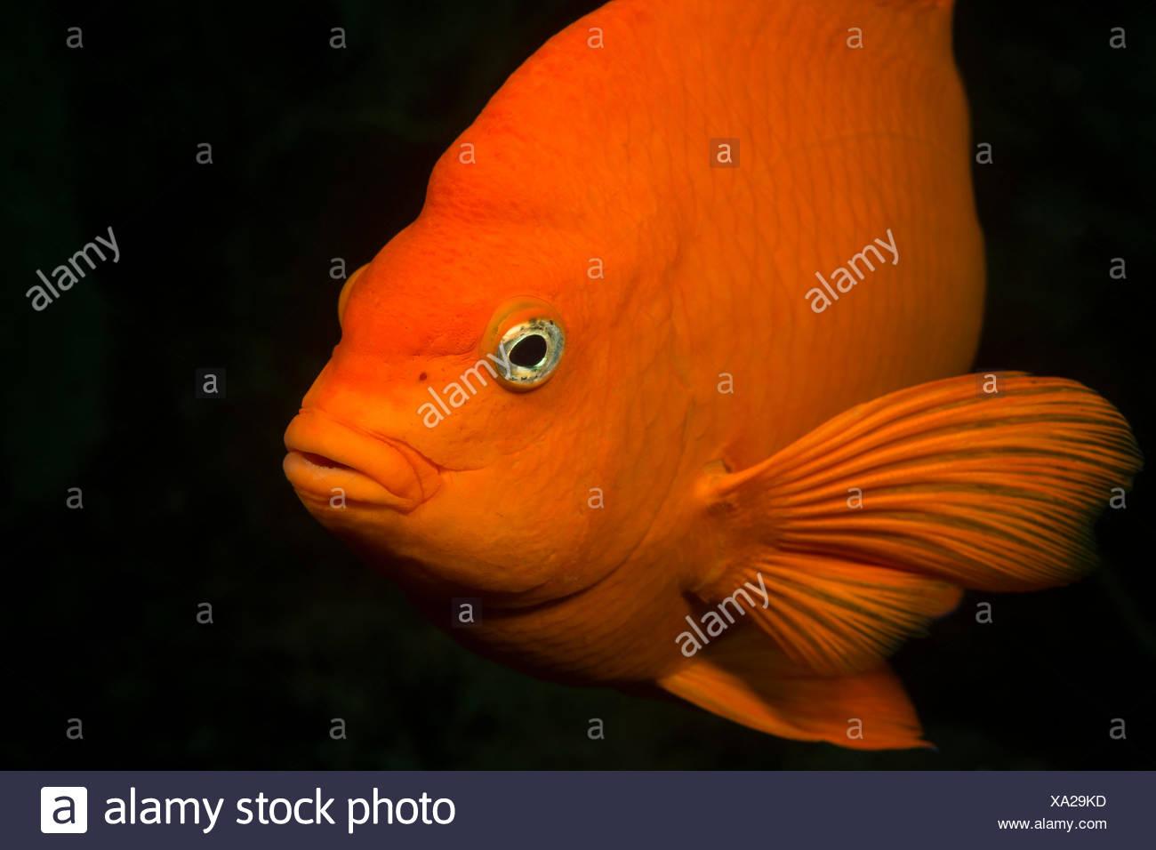 Garibaldi Fish, Hypsypops rubicundus, Catalina Island, California, USA Stock Photo